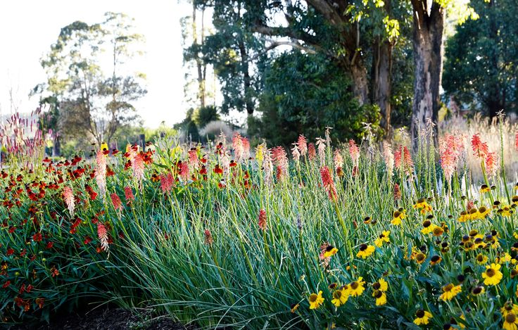 Kniphofia 'Strawberries and Cream' (centre), Helenium 'Wyndley' (right) and Helenium 'Crimson Beauty' at Antique Perennials. Photo – Caitlin Mills for The Design Files.