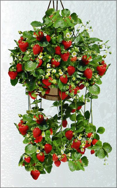 best 25 strawberry planters ideas on pinterest strawberry planters diy wooden crate raised. Black Bedroom Furniture Sets. Home Design Ideas