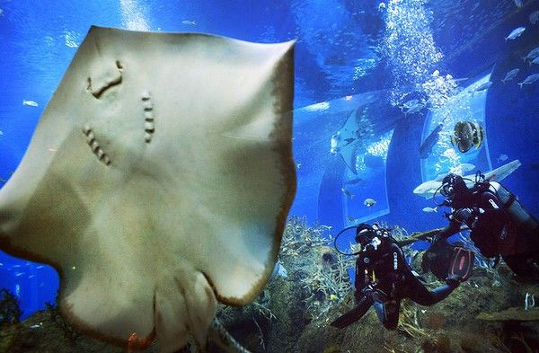 Divers approach a Leopard Ray perched against the glass of an exhibit  in Singapore  at the Marine Life Park at Resorts World, one of the city-state's newest tourist attractions. The Marine Life Park now offers certified divers a chance to do an  ''Open Ocean Dive''  to explore the 18.2 million litre Open Ocean habitat which is home to manta rays, sharks and other marine life.