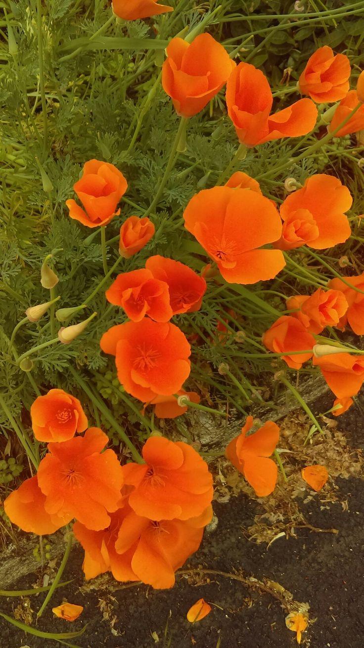 California poppies in overcast light. California poppy