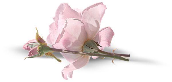 """Цветы, розы, бутоны - клипарт на прозрачном фоне """" Выпускные фотокниги, детские портреты, свадебные фотоальбомы, фотопланшеты, р"""