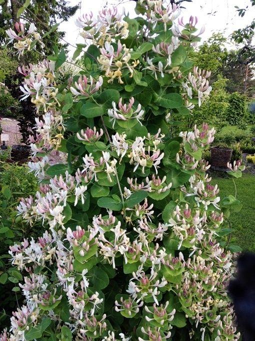 Vildkaprifol, Lonicera periclymenum. Trivs i sol/halvskugga med lagom bevattning. Blommar juli-sept och blir 3-6 meter hög. Gödsla tidigt på våren. Beskärning främjar blomning.