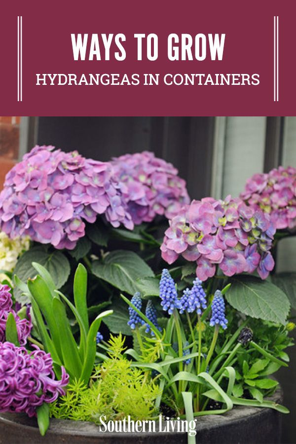 29 Ways To Grow Hydrangeas In Containers In 2020 Growing Hydrangeas Smooth Hydrangea Big Leaf Hydrangea