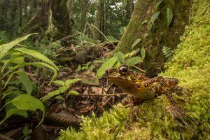 """After 87 years without a sighting, the Borneo rainbow toad, Ansonia latidisca, was rediscovered in 2011 as a part of The Search for Lost Frogs. This stunning new photograph by Robin Moore appears in a photo essay in the California Academy of Sciences' exciting new multimedia magazine BioGraphic. """"I wanted to capture an environmental portrait that placed the toad in context of its natural habitat,"""" says Moore, author of In Search of Lost Frogs."""