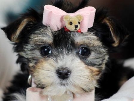 Morkie Puppies For Sale - Teacup Puppies Store