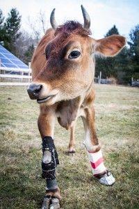 Conheça a comovente história da vaca Fawn.