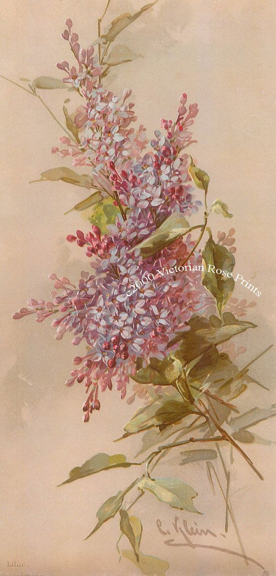 This sweet print is by the Victorian artist, Catherine Klein, and showcases a gorgeous study of Spring lilacs. Overall size is 8 x 16.5
