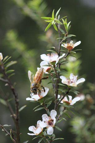 bee foraging on Manuka flowers, New Zealand