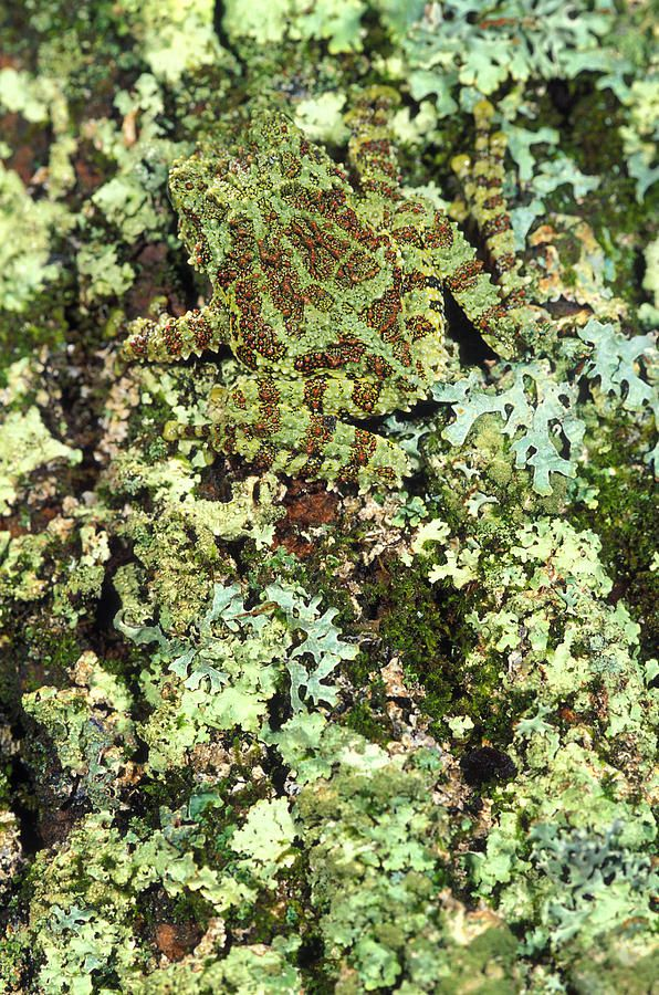 Photograph - Camouflaged Vietnamese Mossy Tree Frog