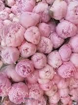 Resultado de imagem para peonias roxas