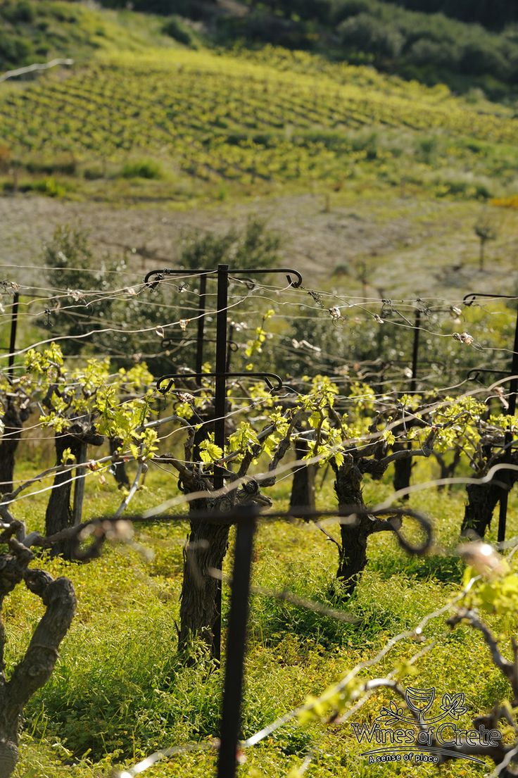 Cretan Vineyard  www.winesofcrete.gr