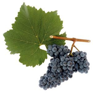 Grapes of Zweigelt from Austria
