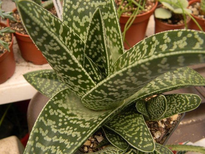 """Gasteraloe 'Green Ice' Comes in a 3.5/"""" Container"""