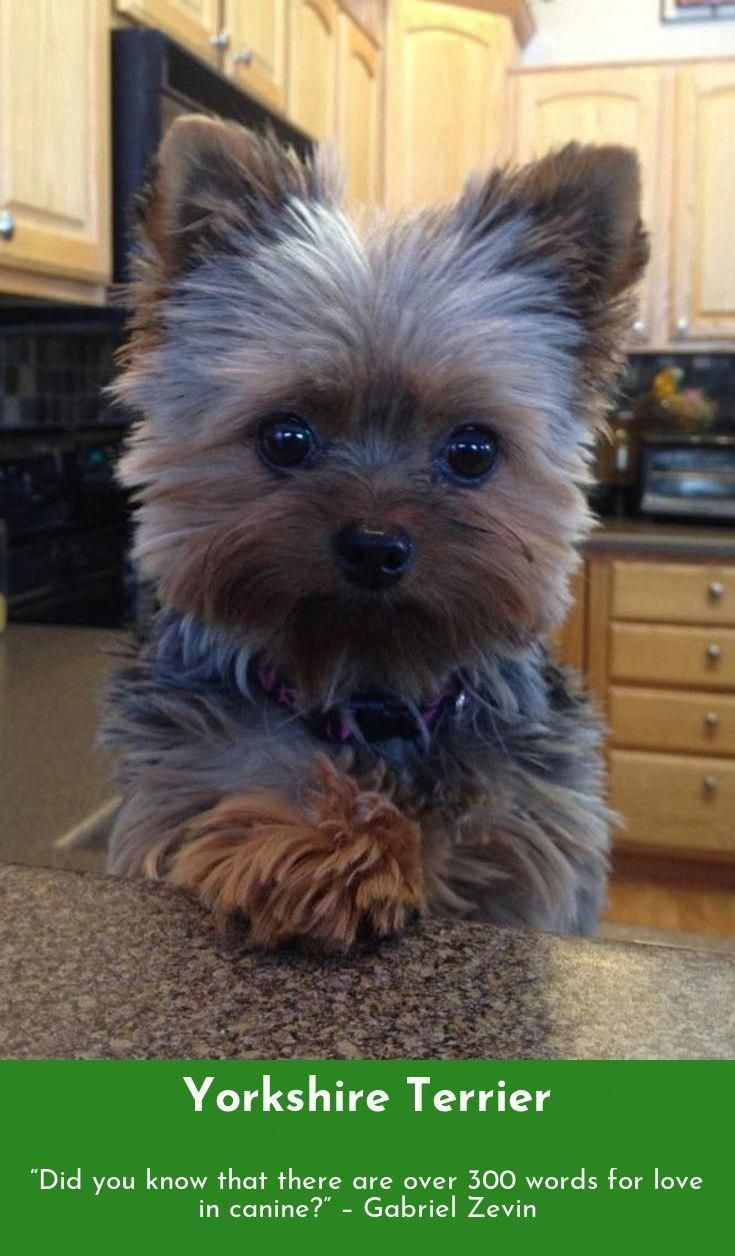 Heaven Goes By Favor If It Went By Merit You Would Stay Out And Your Dog Would Go In Mark Twain Yorkshir Yorkshire Terrier Yorkshire Terrier Dog Yorkie Dogs
