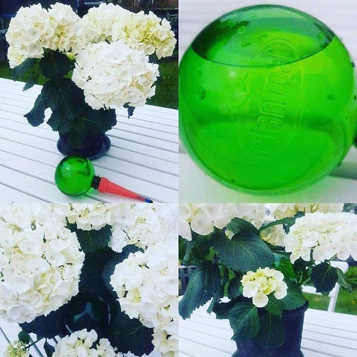 Plantpal är lösningen för dig som vill klara krukväxterna under en kortare resa och för dig som inte har tid eller glömmer av att vattna dina krukväxter. Finns både grön och blå. http://ift.tt/2qPbbC7 #wexthuset #bevattning #krukväxt #långtidsbevattning #odling #odlingstips #grow #vattna #inomhusodlinc #semestervattnare #plantpal