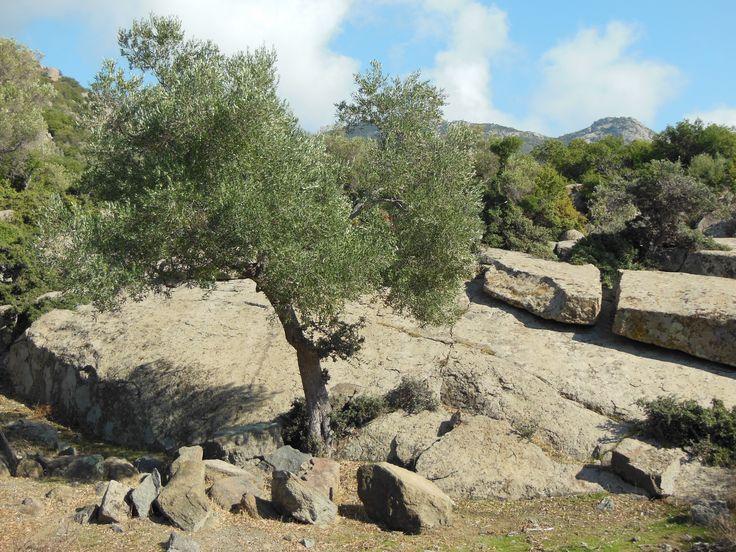 Olive trees made of stone. Maronia.