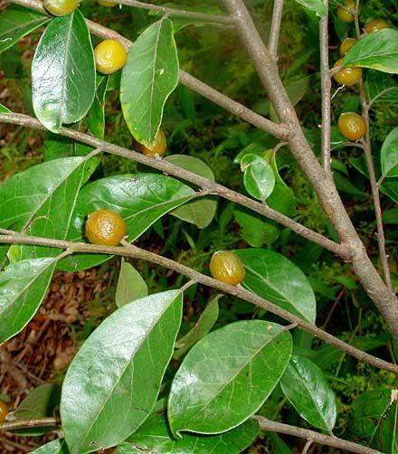 Petalostigma pubescens