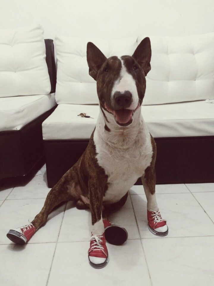 #Orión #Style #BullTerrier