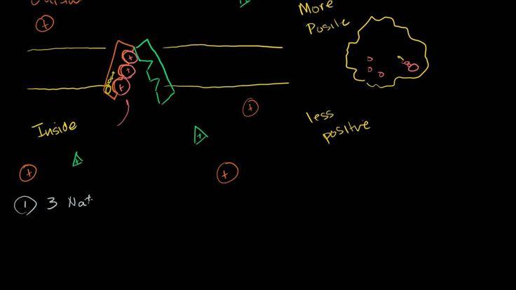 Sodium-Potassium pump (Khan Academy)  Corrections - https://www.youtube.com/watch?v=ye3rTjLCvAU
