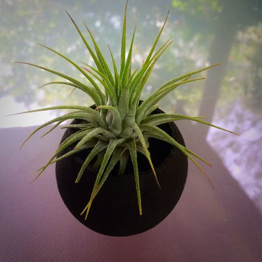 Black Flower Nut Pod with Ionantha #airplants #tillandsia #planters #airplantdesigns