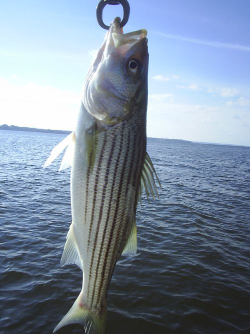 #striped bass #fishing I love fishing.