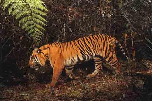Gunung Leuser National Park - Sumatran Tiger