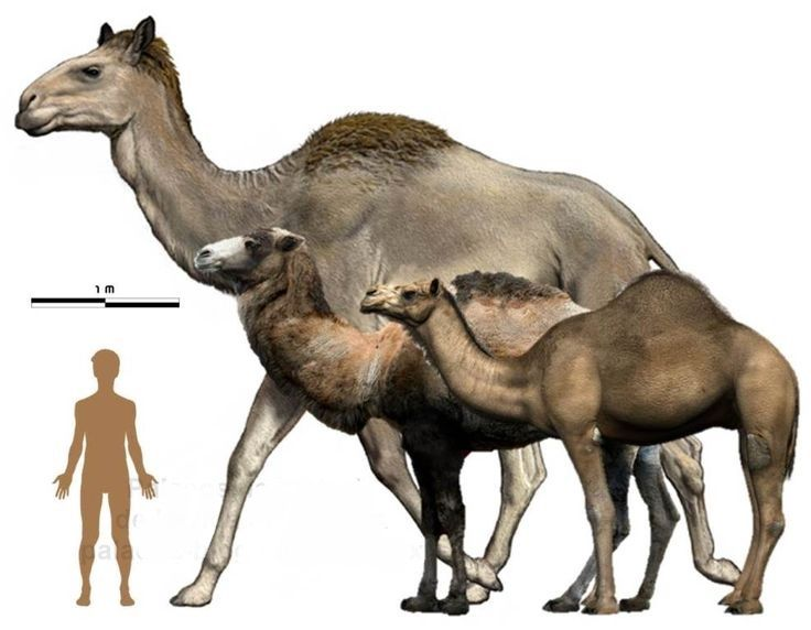 Titanotylopus, the biggest camel to have ever existed ...