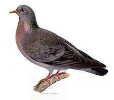 Skogsduva (Columba oenas) Stock Dove