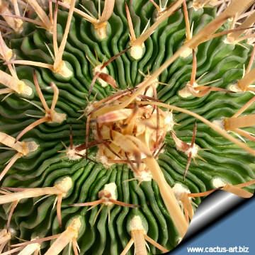 Echinofossulocactus (Stenocactus) crispatus