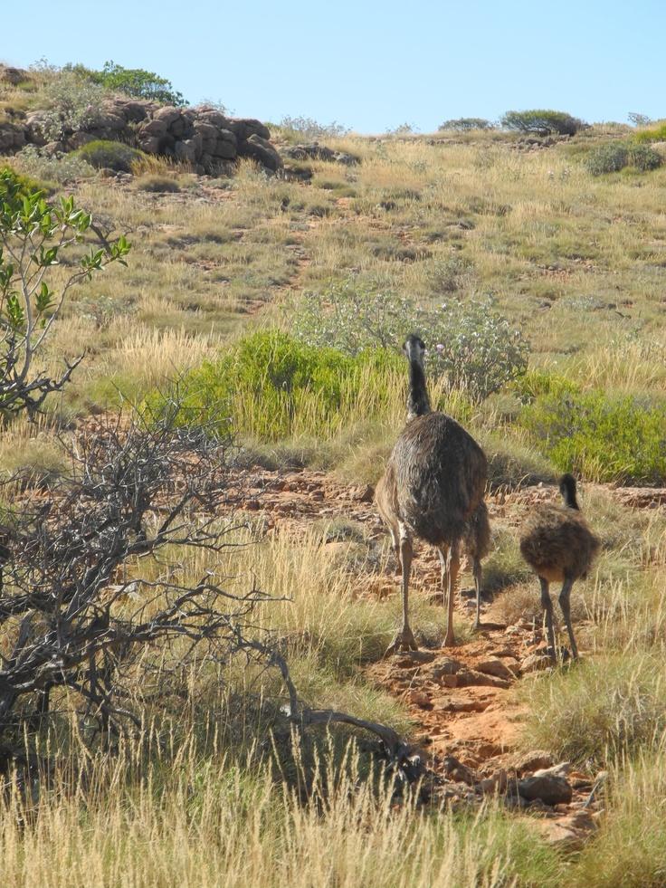 Emu in Western Australia