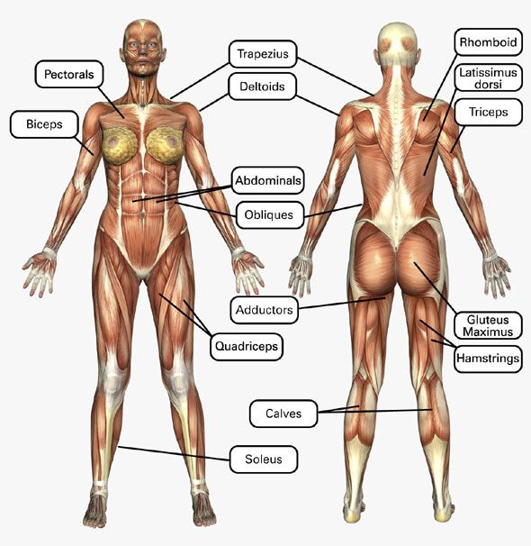 Finally, a muscle chart for the woman's body with major muscle groups clearly defined.