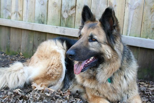 A Raw Food, Real Food Diet for Our German Shepherd Dog - Part 1 - A Little Bit of Spain in Iowa- blog
