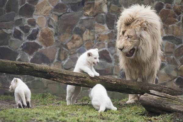 Kókusz, a fehér oroszlánkölyök cuki kistesókat kapott. Kihalóban lévő faj, mesterséges élőhelyeken már csak pár száz állat él