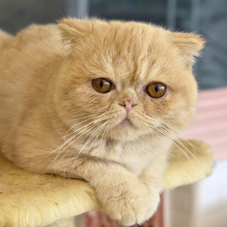 As 10 raças de gato mais amigáveis. Exótico