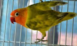 Berkicau Mania: Tips Mengatasi Burung Loverbird Ngekek Sambil Nger...