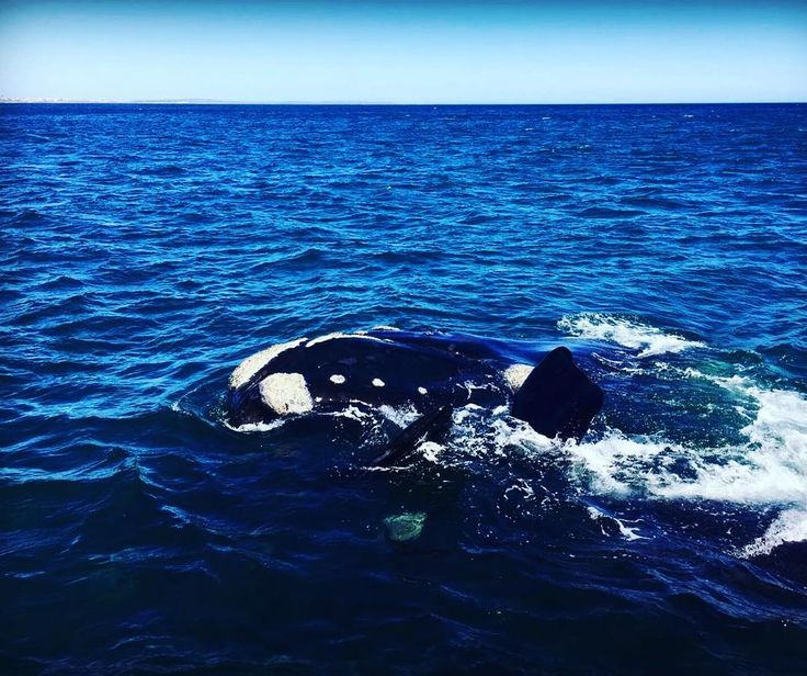 The ooh's and aah's on the boat described the experience of whale watching in a nutshell. It was absolutely wonderful! Photo: Emilie Légère  #whalewatching #Hermanus #CapeTown #naturalbeauty #ilovecapetown #SouthAfrica #ocean #wildlife