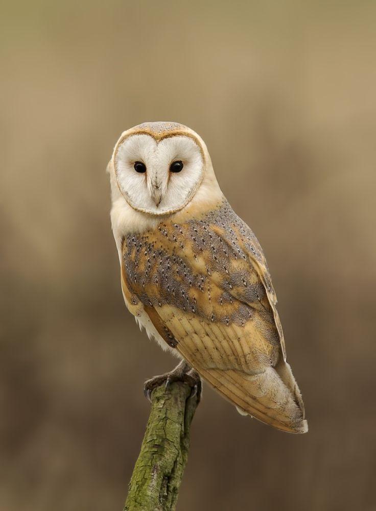 Barn owl portrait by Ken Broadmore | Barn Owls | Pinterest ...
