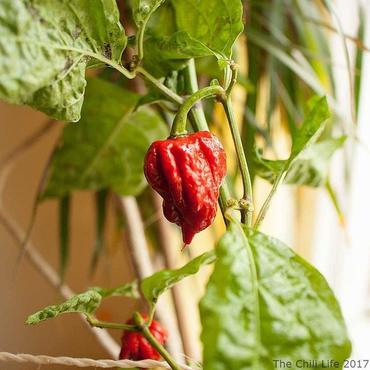 Carolina Reaper... It's the same plant as the pic from yesterday (the beautiful flower). I have some problems with this plant and another capsicum chinense plant.. They are dropping leaves  Anyone know why? It seems like it's only my chinense plants that drop leaves.     #thechililife #capsicum #chili #chile #chilipepper #hotpepper #fruit #chillipeppers #chilli #hot #homegrown #growyourown #instadaily #spicy #organic #instaplant #pepper #red #indoorplants #fruits #plants #hotpeppers…