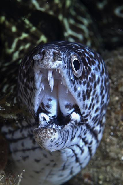 Moray Eel Teeth by Tahiticed