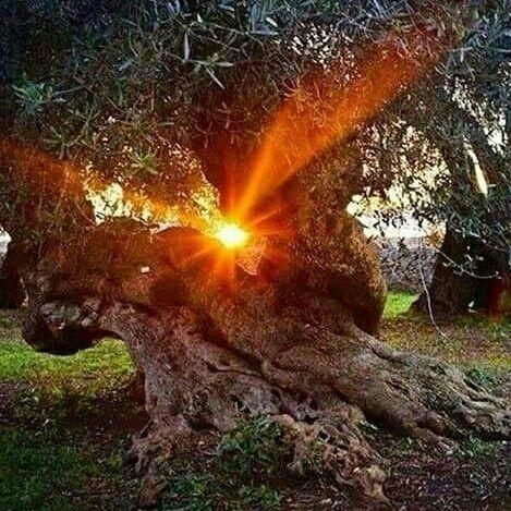 Puglia... Alberi secolari di ulivo
