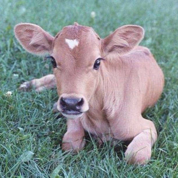 Love Cute Cows