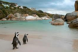 boulders beach... The penguins swim right up to you... and they're all over the place...