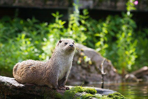 Yogi otter demonstrates cobra pose - September 20, 2014