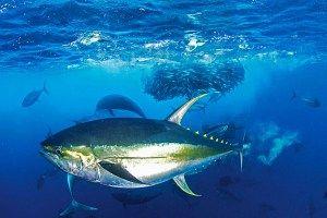 Ikan tuna sirip kuning (Thunnus albacares) berhasil dipijahkan oleh Kementerian Kelautan dan Perikanan.