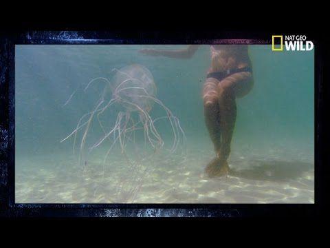 La méduse-boîte   L'animal le plus dangereux du monde