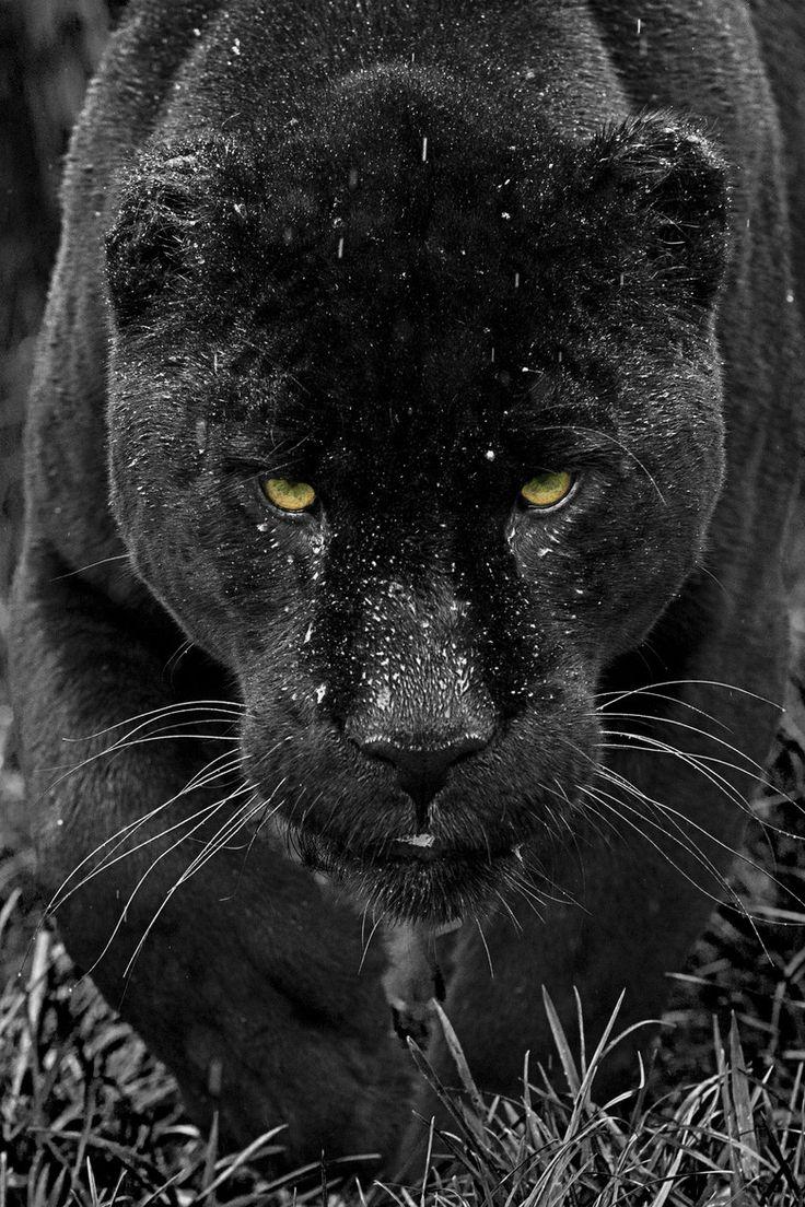 25+ best ideas about Black jaguar on Pinterest | Black ... - photo#20