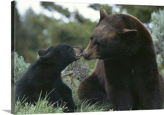 American black bear and cub, Yellowstone National Park, Wyoming