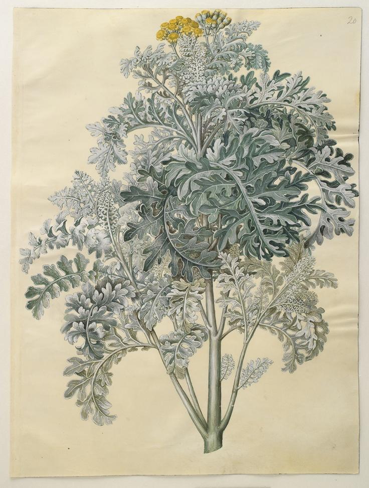 Senocio bicolour: Dusty Miller, c1700