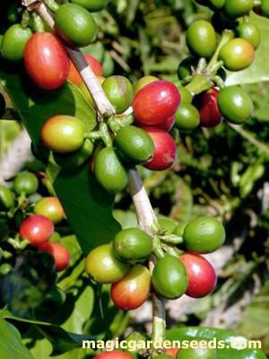 Kona Kaffee (Coffea arabica 'Kona') Samen