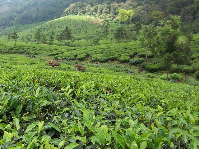 Munnar, Kerala. Tea plantations. http://trekdigest.blogspot.ca/2010/01/tea-plantations-munnar-kerala.html